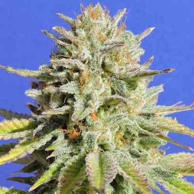 Gorilla Glue #4 > Original Sensible Seeds