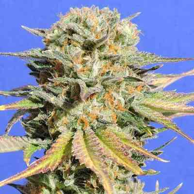 Bruce Banner #3 > Original Sensible Seeds