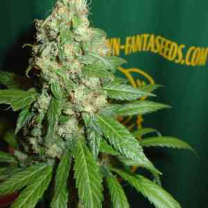 AC Diesel > Homegrown Fantaseeds