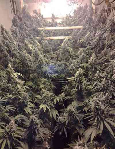Amherst Sour Diesel > Humoldt Seed Organization