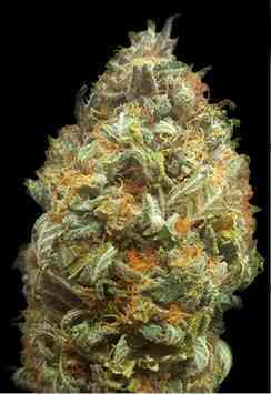Auto Original Orange Bud > Bulk Seed Bank