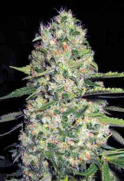 Auto Jack Herer > Bulk Seed Bank