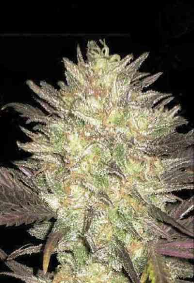 Auto Lavender Best > Bulk Seed Bank