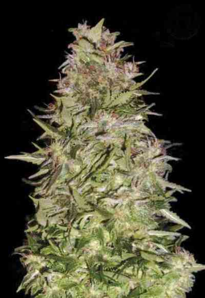 Auto White Prussian > Bulk Seed Bank