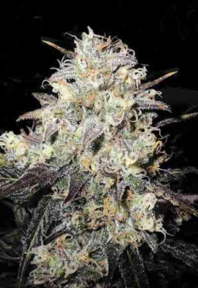 Auto Cocopopo > Bulk Seed Bank