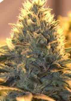 Auto Jack Herer > Bulldog Seeds