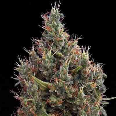 Big Bang Autoflowering > Green House Seed Company