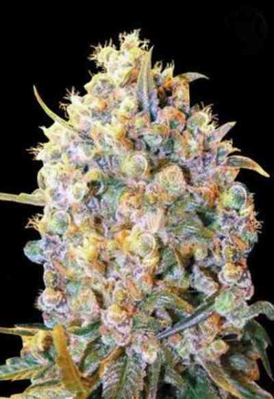 Bigger Bud > Bulk Seed Bank