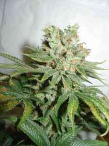 Blue Haze Seed > Homegrown Fantaseeds