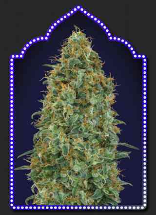 Blueberry Samen > 00 Seeds Bank