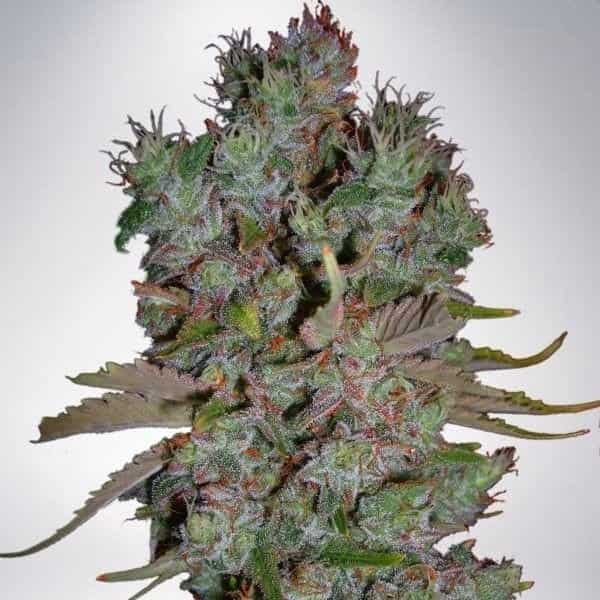 Blueberry > BSF Seeds