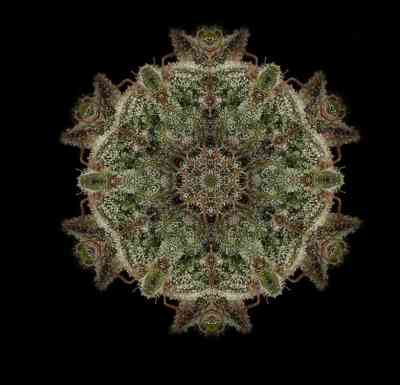 Bubba Kush semilla > Humoldt Seed Organization