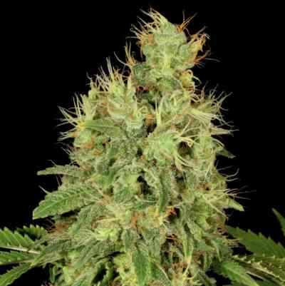 CBD Chronic > Serious Seeds