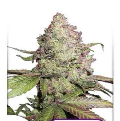 CBD Auto Charlottes Angel Samen > Dutch Passion