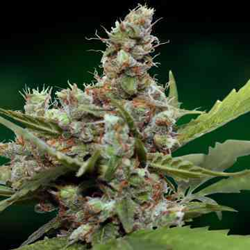 CBD Blue Shark > Barney\'s Farm