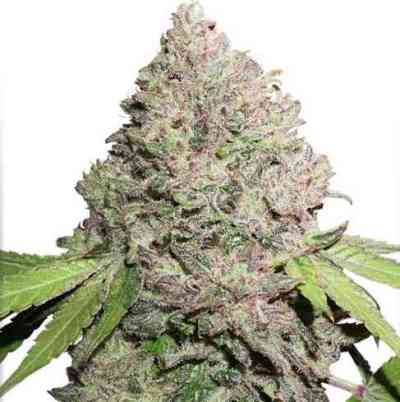 CBD Charlottes Angel  semilla > Dutch Passion