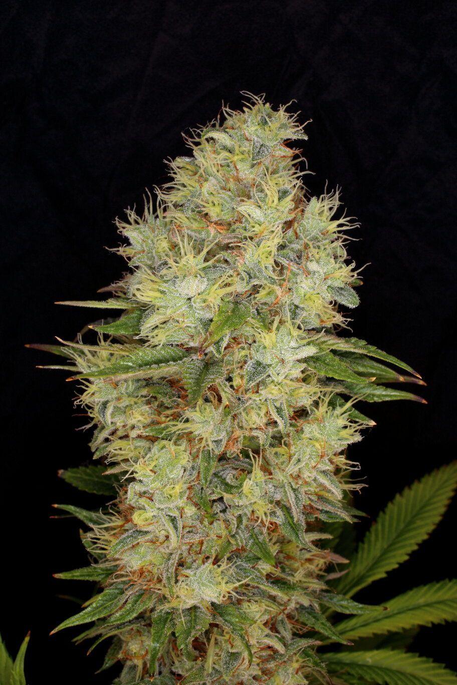 CBG Auto > Kannabia Seeds