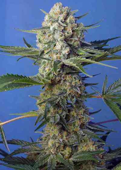 Crystal Candy F1 Fast Version > Sweet Seeds