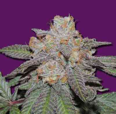 Cheese Bomb Auto semilla > Bomb SeedsCherry Bomb Auto semilla > Bomb Seeds