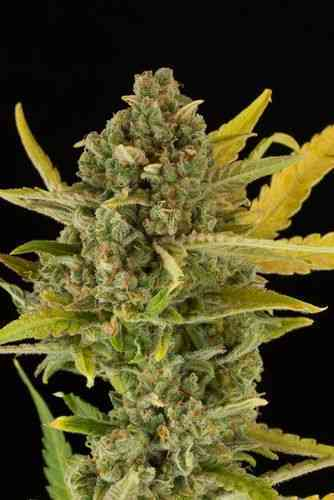Critical Cheese Autoflowering > Dinafem Seeds