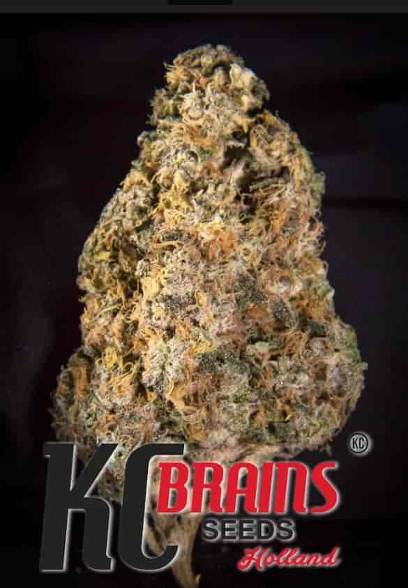 Diamond Queen Kush > KC Brains