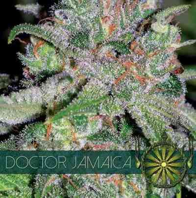 Doctor Jamaica > Vision Seeds