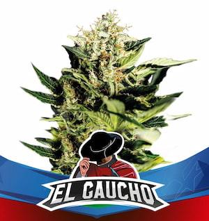 El Gaucho > BSF Seeds