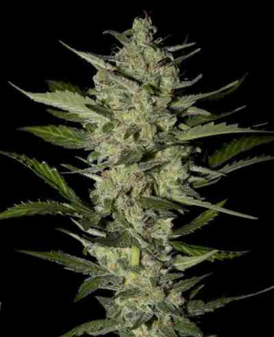 Flowerbomb Kush > Strain Hunters Seed Bank