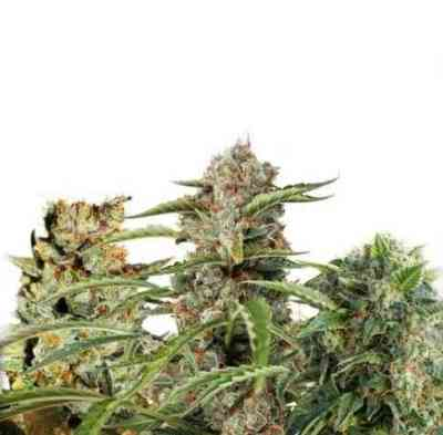 Fruity Autoflower Mix Samen > Dutch Passion