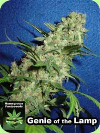 Genie Of The Lamp > Homegrown Fantaseeds