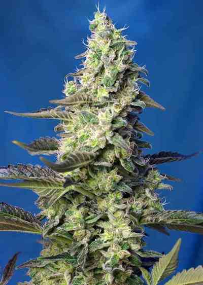 Green Poison XL Auto Samen > Sweet Seeds