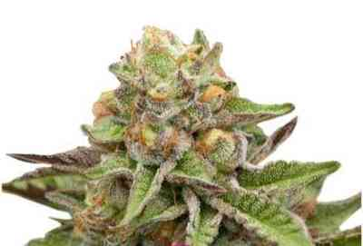 Green Gelato Samen > Royal Queen Seeds