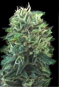 Green Scout Cookies Samen > Bulk Seed Bank