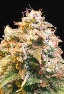 Guerilla Glue graines > Bulk Seed Bank