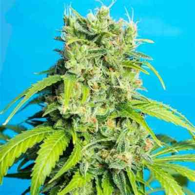 Heaven's Gate CBD > Tropical Seeds Company