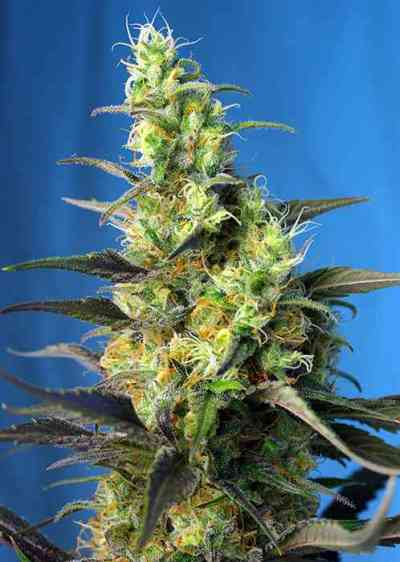Ice Cool CBD Samen > Sweet Seeds