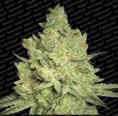 Jacky White > Paradise Seeds