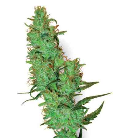 White Label Jack Herer > White Label Seeds