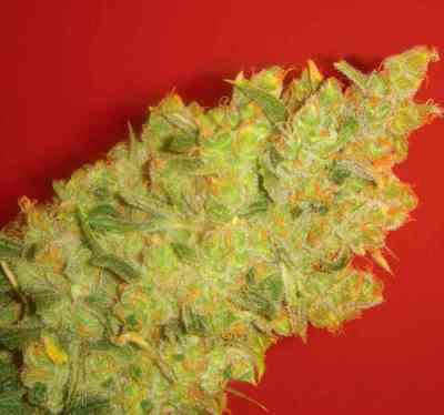 Jack La Mota > Medical Seeds Co.