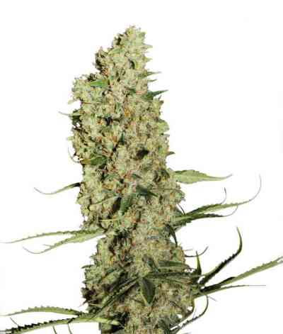 Jorge`s Diamonds #1 > Dutch Passion