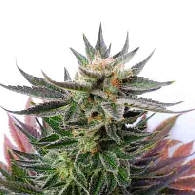 Sativa Dream > Kannabia Seeds