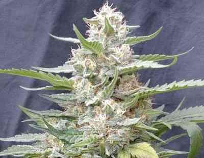 Lemon Amber Kush Seed > G13 Labs