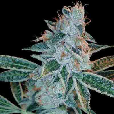 O.G. Skunk > DNA Genetics