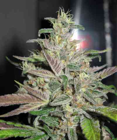Mendocino Purple Kush > Medical Seeds Co.