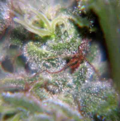 Nev. Haze > Female Seeds