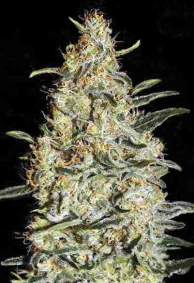 New\'s Haze Seed > Bulk Seed Bank
