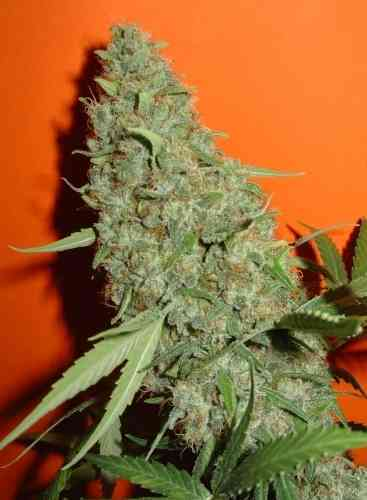 Original Misty Seed > Homegrown Fantaseeds