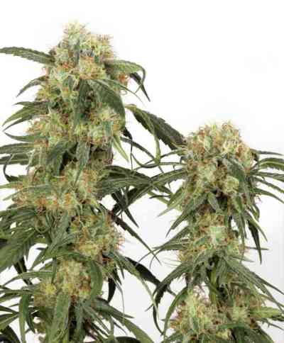 Pamir Gold Seed > Dutch Passion