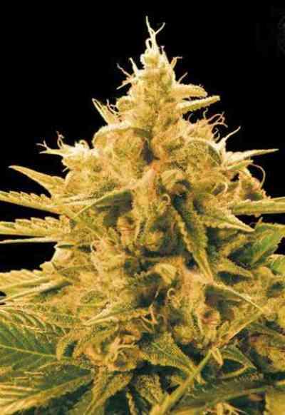 Ananas Funk > Bulk Seed Bank