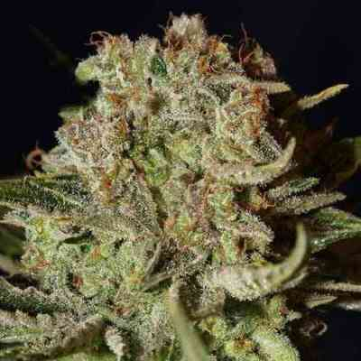 Super Bud > Green House Seed Company